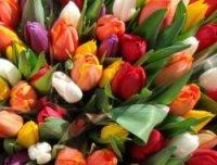 Немного о тюльпанах