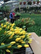Тюльпаны в срезе