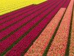 Питомник тюльпанов