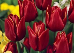 Тюльпаны Abra