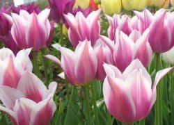 Тюльпаны Ballade