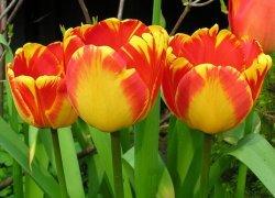 Тюльпаны Banja Luka