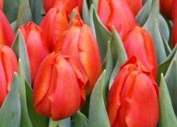 Тюльпаны Bourbon Street