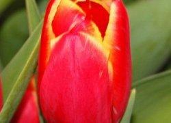 Тюльпаны Caballero