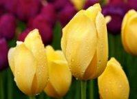 Тюльпаны Caractere