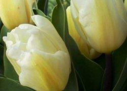 Тюльпаны Creme Flag