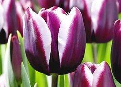 Тюльпаны Daan