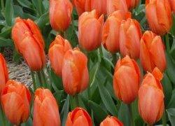 Тюльпаны Darwi Orange