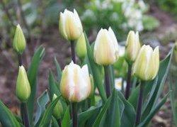 Тюльпаны Darwi Snow