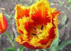 Тюльпаны Daven Port