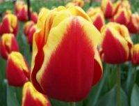 Тюльпаны Denmark