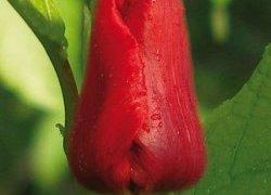 Тюльпаны Deshima