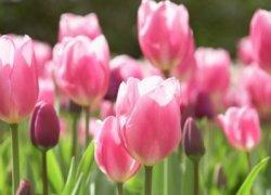 Тюльпаны Early Glory