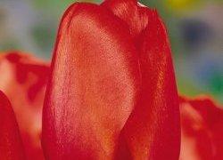 Тюльпаны Esmee