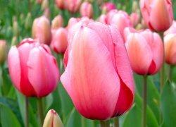 Тюльпаны Huntsville