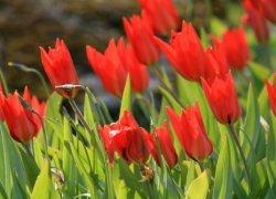 Тюльпаны Yuri