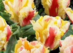 Тюльпаны Zampa Parrot