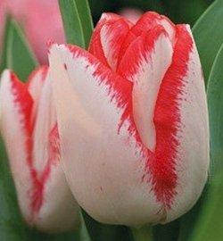 Тюльпаны Beauty Trend