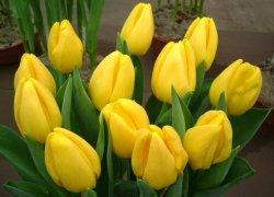 Тюльпаны Голден Тайсон