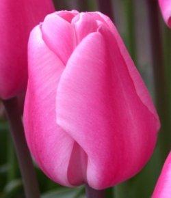 Тюльпаны Jumbo Pink