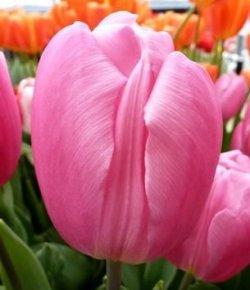 Тюльпаны Pink Flag