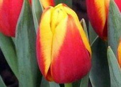 Тюльпаны Popstar