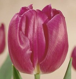 Тюльпаны Purple Flag