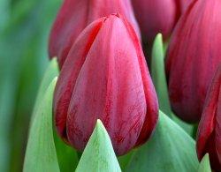 Тюльпаны Renegade