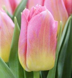 Тюльпаны Tom Pouce