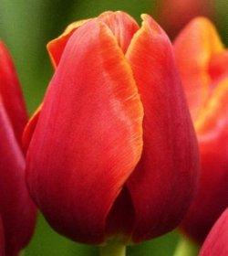 Тюльпаны Verandy