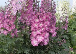 Delphinium New Zealand