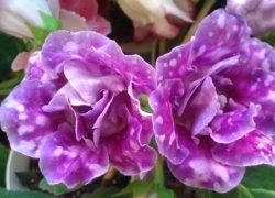 Глоксиния (Gloxinia): Синнингиния (Sinningia)