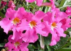 Продажа рассады многолетних цветов Инкарвиллея
