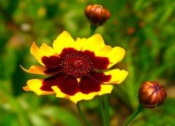 Кореопсис недорого из питомника