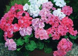 Садовая герань (Geranium Sanguineum)