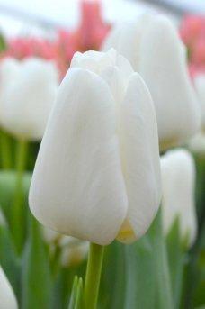 Сорт Darwi Snow