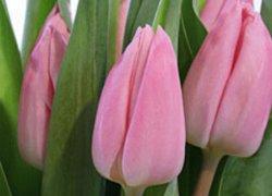 Тюльпаны Аафке из Голландии к женскому празднику