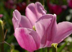 Продажа луковиц тюльпанов Aafke оптом