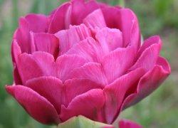Дешёвые тюльпаны Абигайл из теплицы