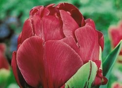 Сорт тюльпанов Abigail для женского праздника
