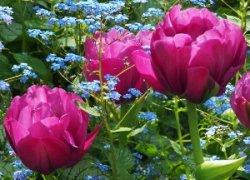 Тюльпаны Абигейль оптом со скидкой