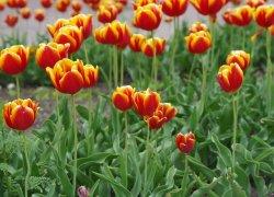 Ввыращивание тюльпанов к 8 Марта