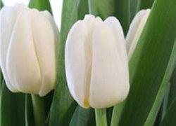 Купить тюльпаны к 8 Марта оптом
