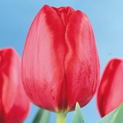 Тюльпаны Arie Hoek