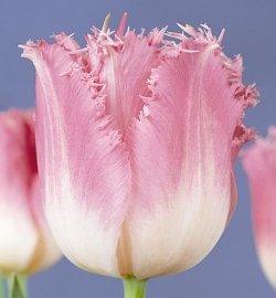 Тюльпаны Auxerre
