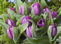 Голландский сорт тюльпанов Baby Blue к Женскому дню