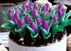 Продажа луковиц голландских тюльпанов Бейби Блю