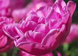 Купить тюльпаны Back Packer из Голландии оптом