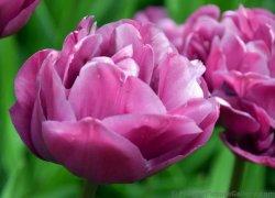 Голландские тюльпаны Back Packer на 8 Марта дешево