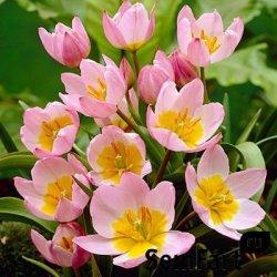 Продажа тюльпанов на 8 Марта
